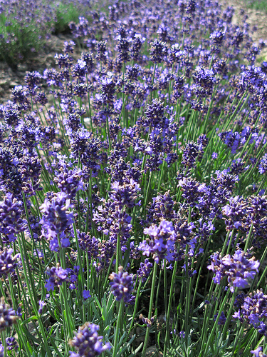 Lavender Flowers in Bloom