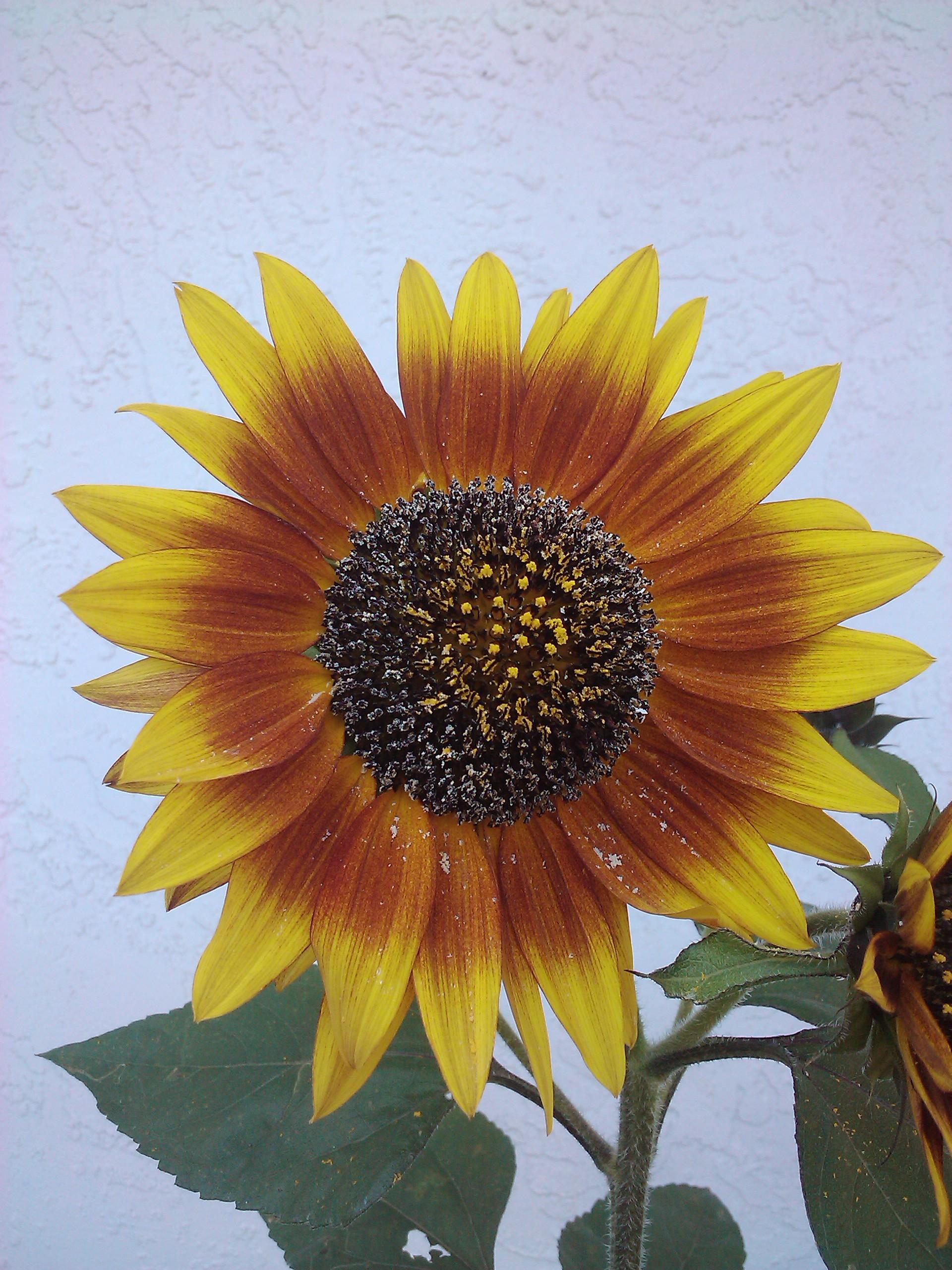 yellow orange and red sunflower
